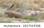 female leopard slaps male while ... | Shutterstock . vector #1017419338