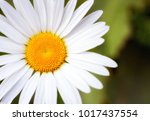 large camomile closeup in good... | Shutterstock . vector #1017437554