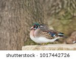 Lovely Wood Duck Couple...
