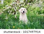 golden retriever dog posing... | Shutterstock . vector #1017497914