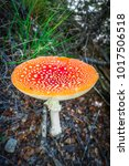 Small photo of Amanita muscaria. fly agaric toadstool mushroom. Close-up view
