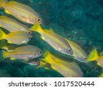 yellow fin fish swimming... | Shutterstock . vector #1017520444