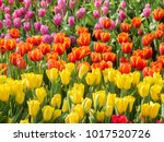 colorful of tulips in garden. | Shutterstock . vector #1017520726