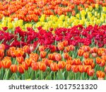 colorful of tulips in garden. | Shutterstock . vector #1017521320