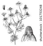 matricaria chamomilla or german ... | Shutterstock .eps vector #101753248