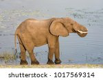 an adult elephant at an river... | Shutterstock . vector #1017569314