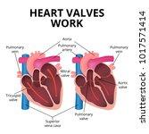 anatomy of the human heart  an... | Shutterstock .eps vector #1017571414