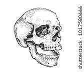 Skull  Skeleton Head Anatomy...