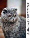 scottish folded cat gray | Shutterstock . vector #1017590773