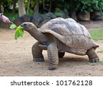 Big Seychelles Turtle Eat.  La...