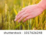 wheat on hand. plant  nature ... | Shutterstock . vector #1017626248