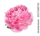 beautiful pink peony isolated... | Shutterstock . vector #1017638710