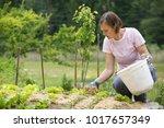 woman gardener planting salad... | Shutterstock . vector #1017657349