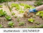 gardener spreading a straw... | Shutterstock . vector #1017658519