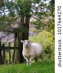a single sheep posing on the... | Shutterstock . vector #1017664270
