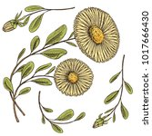 herb medicinal chamomile or... | Shutterstock .eps vector #1017666430