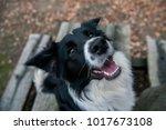 Border Collie Dog At Winter