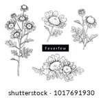 collection feverfew with line... | Shutterstock .eps vector #1017691930