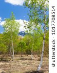 white birch woods of fresh... | Shutterstock . vector #1017708514