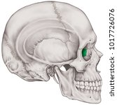 the ethmoid bone of the cranium ... | Shutterstock . vector #1017726076