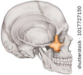the zygomatic bone of the... | Shutterstock . vector #1017727150