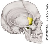 the sphenoid bone of the... | Shutterstock . vector #1017727609
