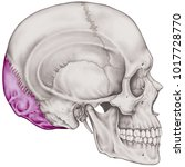 the occipital bone of the... | Shutterstock . vector #1017728770