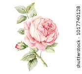 Stock photo rose hand drawn watercolor botanical illustration realistic isolated object on a white background 1017740128