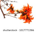 bastard teak flower on white... | Shutterstock . vector #1017771586