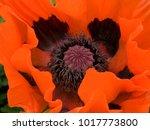 heart of a vibrant red poppy...   Shutterstock . vector #1017773800