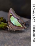 Small photo of Common Nawab butterfly, Charaxes athamas athamas, Satakha