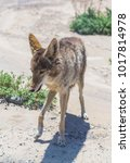 Small photo of coyote stalk on roadside in desert area.