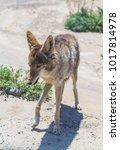 Small photo of coyote stalk on roadside in desert area.