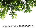 tree branch isolated   Shutterstock . vector #1017854326