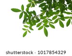 tree branch isolated   Shutterstock . vector #1017854329