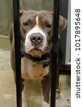 Small photo of american pit bull terrier In the cage