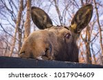 the big moose looks with an... | Shutterstock . vector #1017904609