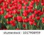 red tulip flower | Shutterstock . vector #1017908959