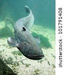 Underwater Photo Big Catfish ...