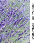 violet lavender field with soft ...   Shutterstock . vector #1017938080