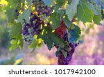 colored bunches of unripe the...   Shutterstock . vector #1017942100