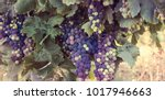 bunches of red wine grapes on... | Shutterstock . vector #1017946663