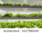 organic hydroponic vegetable... | Shutterstock . vector #1017980104