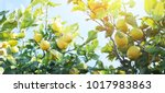 Lemon Garden  Summer Background