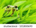 Tree Frog In Grass Closeup
