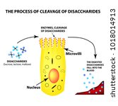 the process of cleavage of... | Shutterstock .eps vector #1018014913