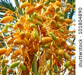 Date Palm Tree With Dates