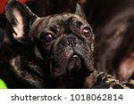 french bulldog portrait | Shutterstock . vector #1018062814