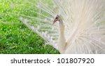 white peacock | Shutterstock . vector #101807920