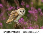 Beautiful Barn Owl In Pink...